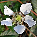 Southern dewberry (Rubus trivialis) (6790639822).jpg