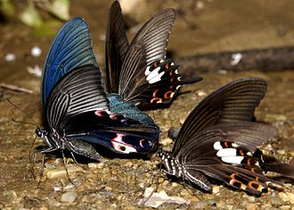Papilio protenor - Spangle mud-puddling with red Helens.