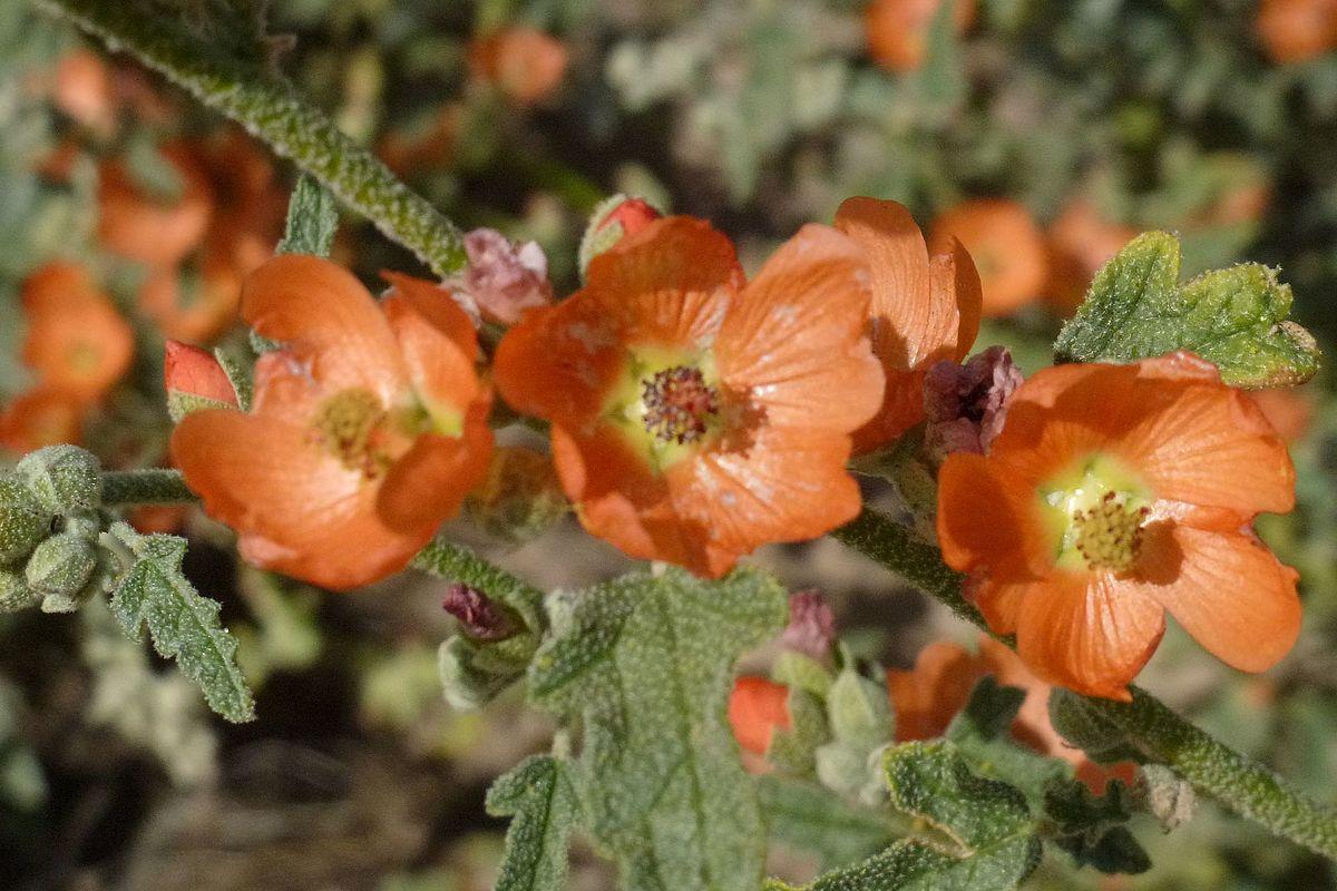 Sphaeralcea Emoryi Wikipedia