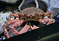 Spider crab, National Lobster Hatchery.jpg