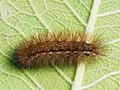 Spilarctia lutea (larva) - Buff ermine (caterpillar) - Медведица быстрая (гусеница) (42682898380).jpg