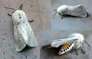 <i>Spilosoma lubricipeda</i> Species of moth