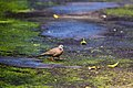 Spotted dove (29994687504).jpg