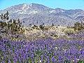 Spring Bloom, JoshuaTree NP 3-08 (17165580846).jpg