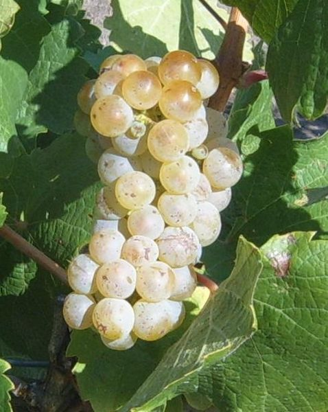 Riesling grapes photo by Peter Ellis, Uploaded to Wikimedia Commons under CC-BY-SA-2.5