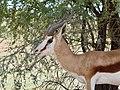 Springbok (Antidorcas marsupialis) male ... (51091288034).jpg