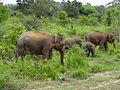 Sri Lankan Elephant in Hurulu Eco Park 20.jpg