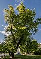 Stadtpark Japanischer Schnurbaum.jpg
