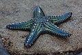 Starfish 09 (paulshaffner).jpg