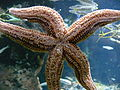 Starfish Underside New England Aquarium Boston.jpg