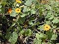 Starr-010419-0036-Thunbergia alata-flowers and leaves-Kula-Maui (24236657010).jpg