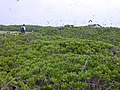 Starr-010520-0022-Scaevola taccada-habit-inland-Kure Atoll (24506524536).jpg