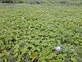 Starr-010520-0033-Ipomoea indica-habit-Near camp-Kure Atoll (23905917273).jpg