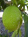 Starr-040318-0066-Artocarpus altilis-fruit-Maui Nui Botanical Garden-Maui (24606126191).jpg