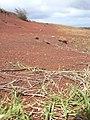 Starr-040330-0423-Cynodon dactylon-along road-Puu Moaulaiki-Kahoolawe (24073419493).jpg