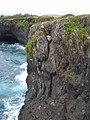 Starr-050406-6156-Schinus terebinthifolius-habitat with Ken on rope-Moku Mana-Maui (24116664684).jpg