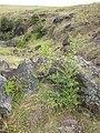 Starr-050815-7399-Olea europaea subsp cuspidata-habit-Pohakuokala Gulch-Maui (24683737082).jpg