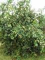 Starr-060916-8846-Syzygium jambos-habit-Kula-Maui (24865213865).jpg