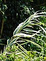 Starr-070402-6338-Arundo donax-habit-Lanai City-Lanai (24859967886).jpg