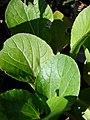 Starr-081031-0418-Brassica rapa var chinensis-leaves-Makawao-Maui (24296135074).jpg