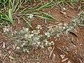 Starr-081230-0726-Conyza bonariensis-fruiting habit-LZ1-Kahoolawe (24300508953).jpg