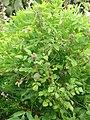 Starr-090430-6755-Rubus niveus-form a habit-Kula-Maui (24835311162).jpg