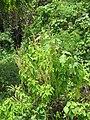 Starr-090623-1609-Ocimum gratissimum-flowering habit-Kaeleku-Maui (24966969095).jpg