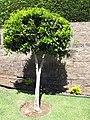 Starr-090721-3229-Pimenta dioica-flowering habit-Wailuku Heights-Maui (24343580283).jpg