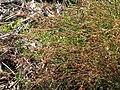 Starr-091207-0261-Rumex acetosella-flowers-Holua Cabin Haleakala National Park-Maui (24965194426).jpg