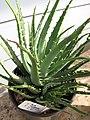 Starr-110215-0981-Aloe humilis-hedgehog habit-KiHana Nursery Kihei-Maui (24444447094).jpg