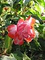 Starr-110215-1051-Impatiens walleriana-double flower-KiHana Nursery Kihei-Maui (24707630019).jpg