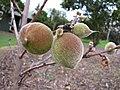 Starr-110217-1504-Prunus persica var persica-Florida Prince immature fruits-Olinda-Maui (24445742584).jpg