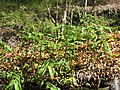 Starr-110307-2016-Hedychium coronarium-habit in koi pond-Kula Botanical Garden-Maui (24709765079).jpg