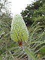 Starr-110307-2661-Banksia speciosa-flowers-Kula Botanical Garden-Maui (25078499385).jpg