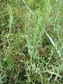 Starr-110503-5453-Lactuca sativa-habit-Kula-Maui (24976564412).jpg