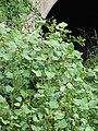 Starr-110503-5480-Xanthium strumarium var canadense-fruiting habit-Kula-Maui (24464127614).jpg