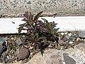 Starr-110515-6546-Bidens pilosa-in crack in concrete-Science City-Maui (24799554790).jpg
