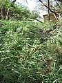 Starr-120406-4369-Panicum antidotale-habit-Kawela Bridge-Molokai (25020608762).jpg