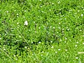 Starr-120606-7017-Bacopa monnieri-flowering habit with cabbage butterfly Pieris rapae-Kahanu Gardens Veggie Garden Hana-Maui (24517829143).jpg