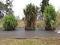 Starr-120608-7234-Cenchrus purpureus-silage grass trials including Banagrass-Ulupalakua Ranch-Maui (25145230505).jpg