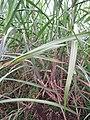 Starr-120620-7458-Cenchrus purpureus-green bana grass habit-Kula Agriculture Station-Maui (24778023699).jpg