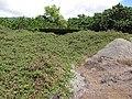Starr-130702-5455-Thespesia populnea-habit and old overgrown structure-Kealia Pond-Maui (24851023419).jpg