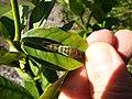 Starr-140119-3195-Citrus aurantifolia-leaf with Citrus Swallow tail butterfly larva-Hawea Pl Olinda-Maui (25239287825).jpg