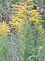 Starr-140930-2065-Solidago canadensis-flowering habit-Keokea-Maui (25153621401).jpg