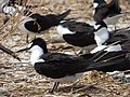 Starr-150403-0280-Brassica juncea-Sooty Terns settling down-Southeast Eastern Island-Midway Atoll (24649302163).jpg