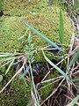 Starr-170516-0116-Polypogon interruptus-seedhead leaves-Lower Kula Pipeline Haiku Uka-Maui (34841596440).jpg