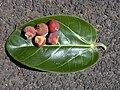 Starr 010420-0096 Ficus benghalensis.jpg