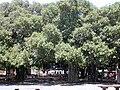 Starr 010914-0085 Ficus benghalensis.jpg
