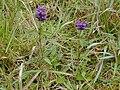 Starr 020808-0015 Prunella vulgaris.jpg