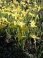 Starr 021019-0008 Zephyranthes citrina.jpg